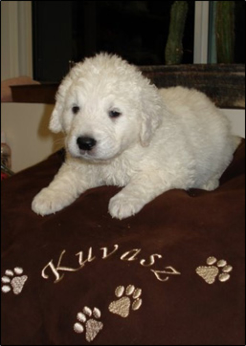 The Kuvasz- A Rare Breed