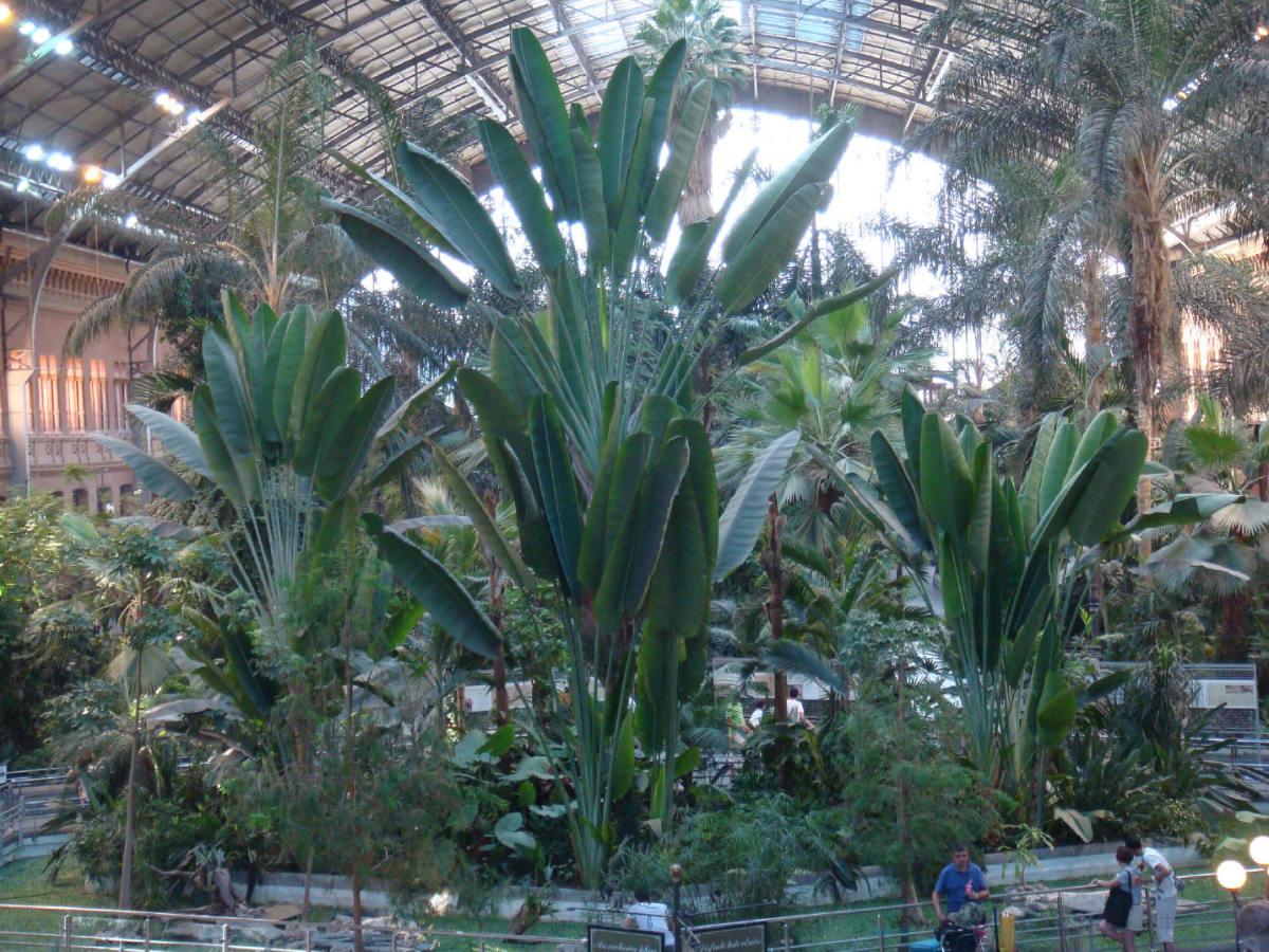 Huge banana tree known as The Traveler's Tree