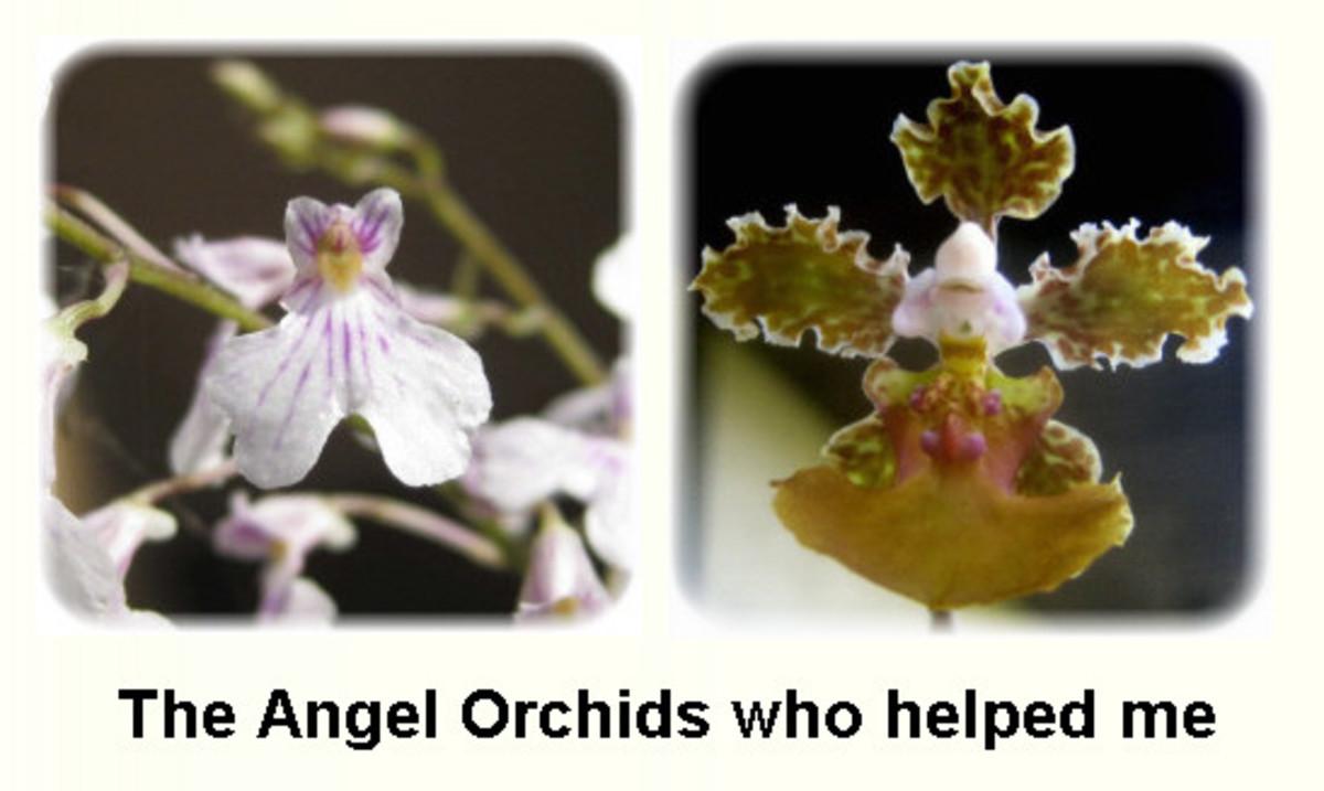 alienorchids