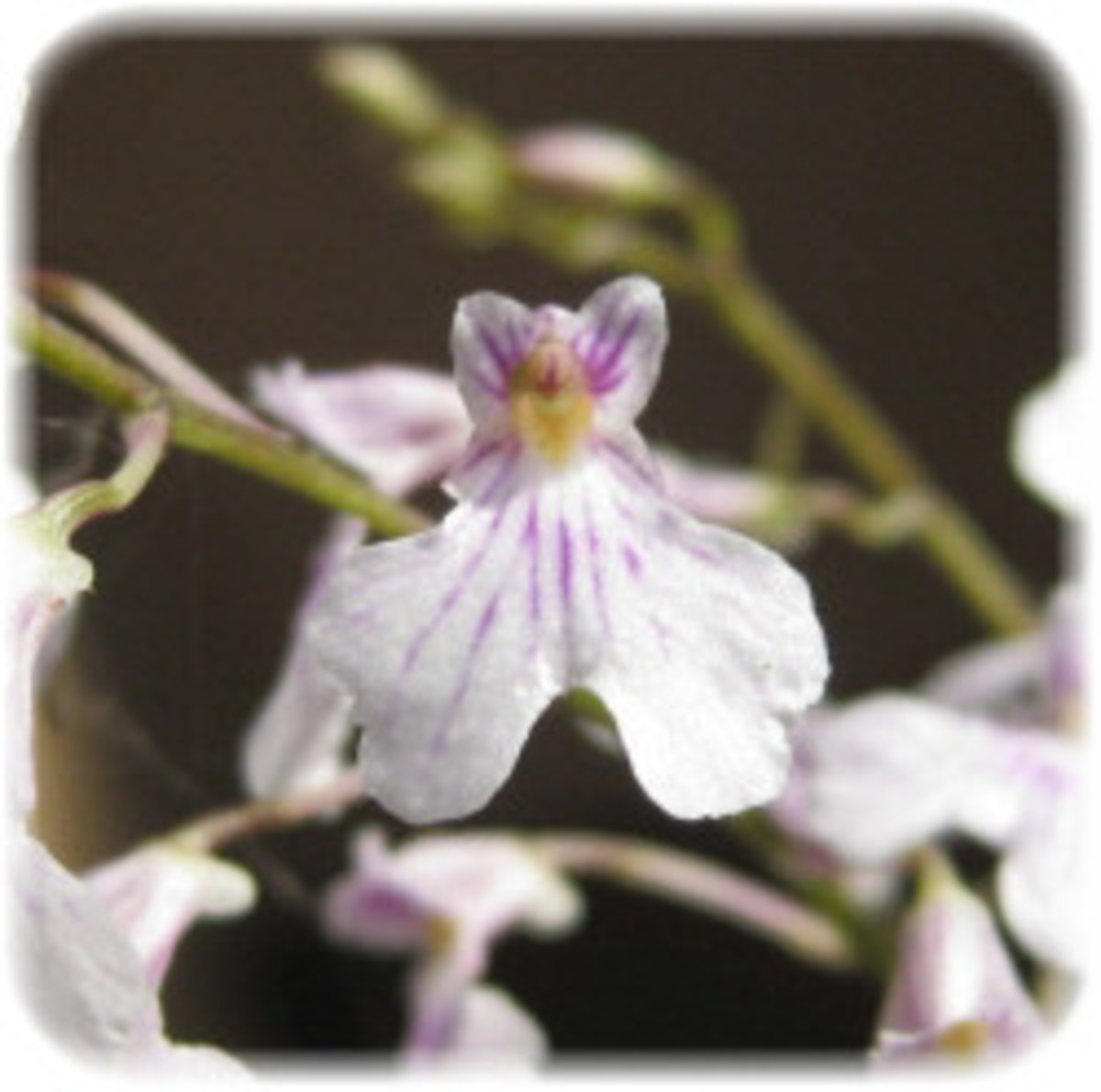 The Angel Orchid Who Sent My Advocate