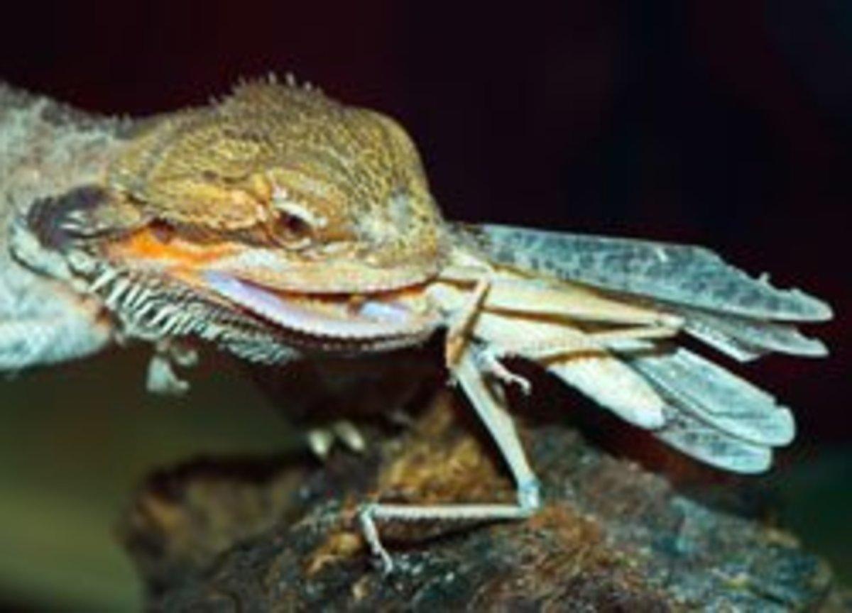 Bearded Dragon eating a locust