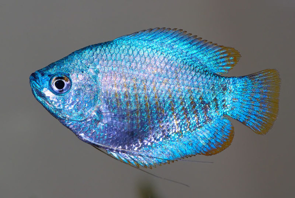 The dwarf gourami, Colisa lalia, has an almost translucent blue color, with vertical red to dark orange stripes. In its native range it is dried for food, and it is also kept as an aquarium fish. It has become highly popular for aquaria.