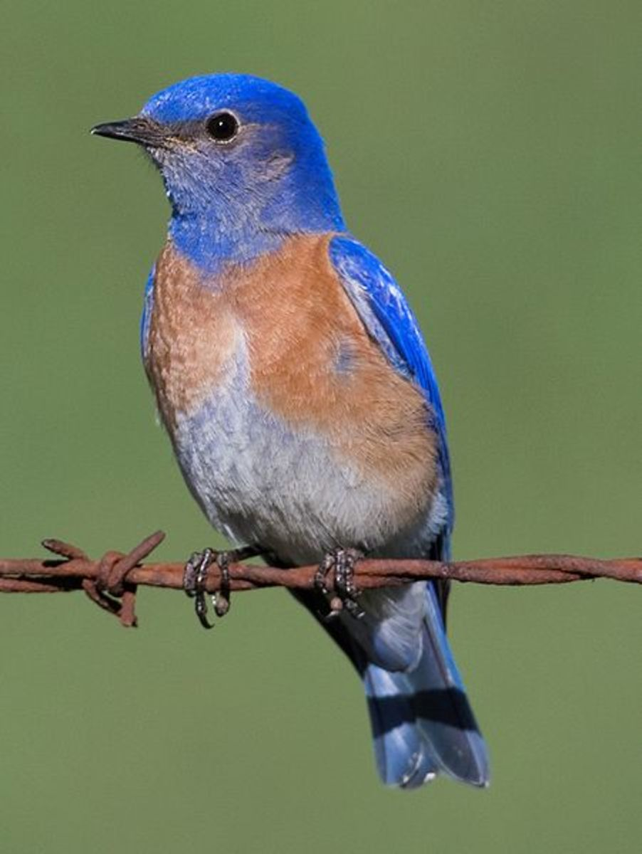 The Western Bluebird (Sialia mexicana) is a medium-sized thrush. Their breeding habitat is semi-open country across western North America, but not desert areas.