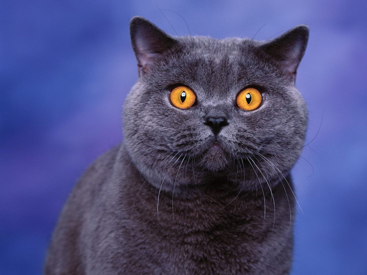 "British Shorthairs come in many colours. For many years, the more popular blue variant was common enough to have a breed name of its own: the ""British Blue."" It remains one of the most popular colours in the breed."