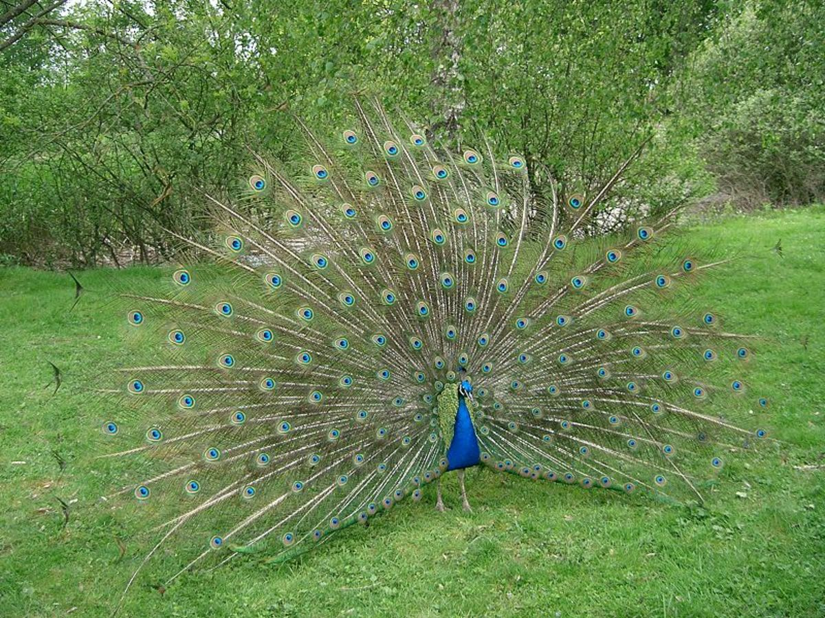 The Indian Peafowl, Pavo cristatus (from Latin Pavo, peafowl; cristatus, crested), also known as the Common Peafowl or the Blue Peafowl, is one of two species of bird in the genus Pavo of the Phasianidae family known as peafowl.