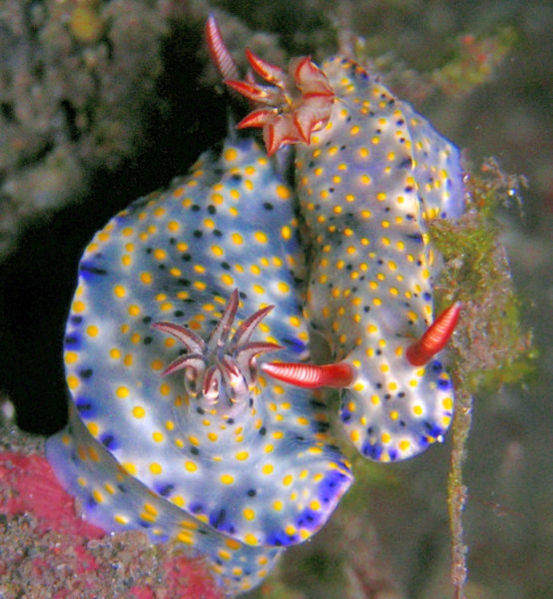 Hypselodoris infucata is a species of colorful sea slug or dorid nudibranch, a marine opisthobranch gastropod mollusk in the family Chromodorididae