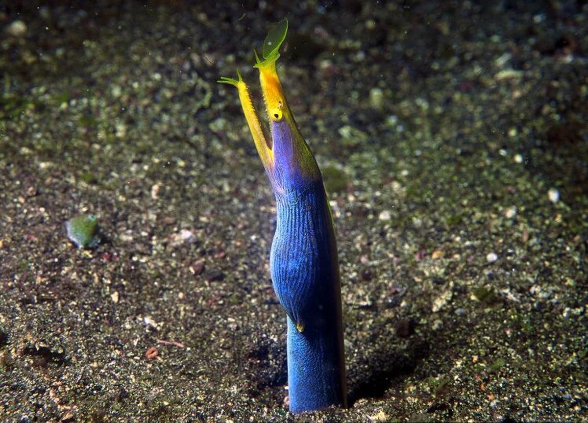 The ribbon eel, Rhinomuraena quaesita, or Bernis eel, is a species of saltwater  eels, the only member of the genus Rhinomuraena of the Muraenidae (Moray eel) family of order Anguilliformes.