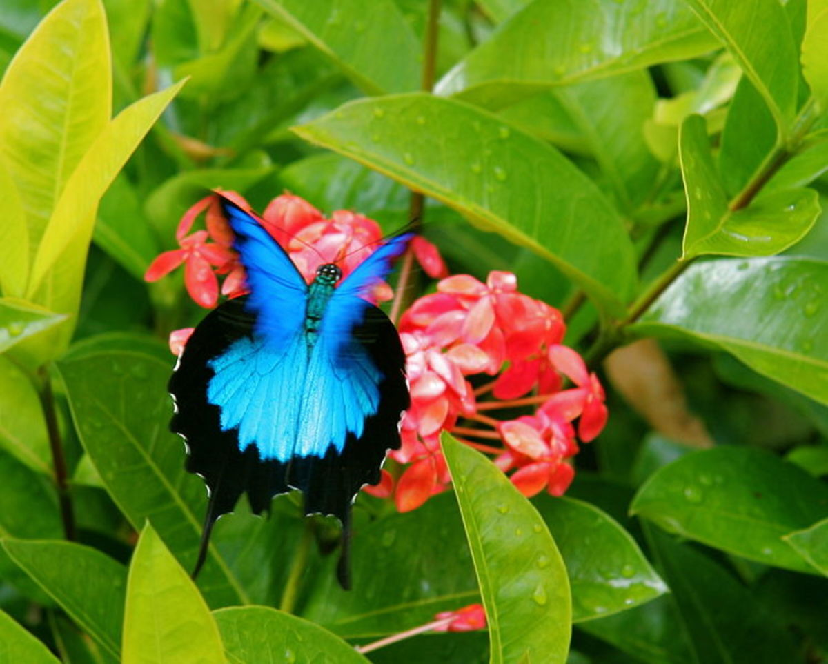 The Ulysses butterfly (Papilio ulysses), also known as the Blue Mountain Butterfly, or the Blue Mountain Swallowtail  is a large Australian  swallowtail. The Ulysses butterfly has a wingspan of about 14 cm (5.5 inches).