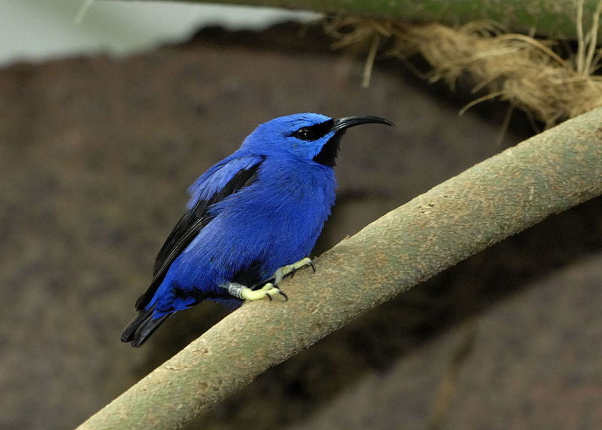 The Purple Honeycreeper, Cyanerpes caeruleus, is a small bird  in the tanager family. It is found in the tropical New World from Colombia  and Venezuela south to Brazil, and on Trinidad.