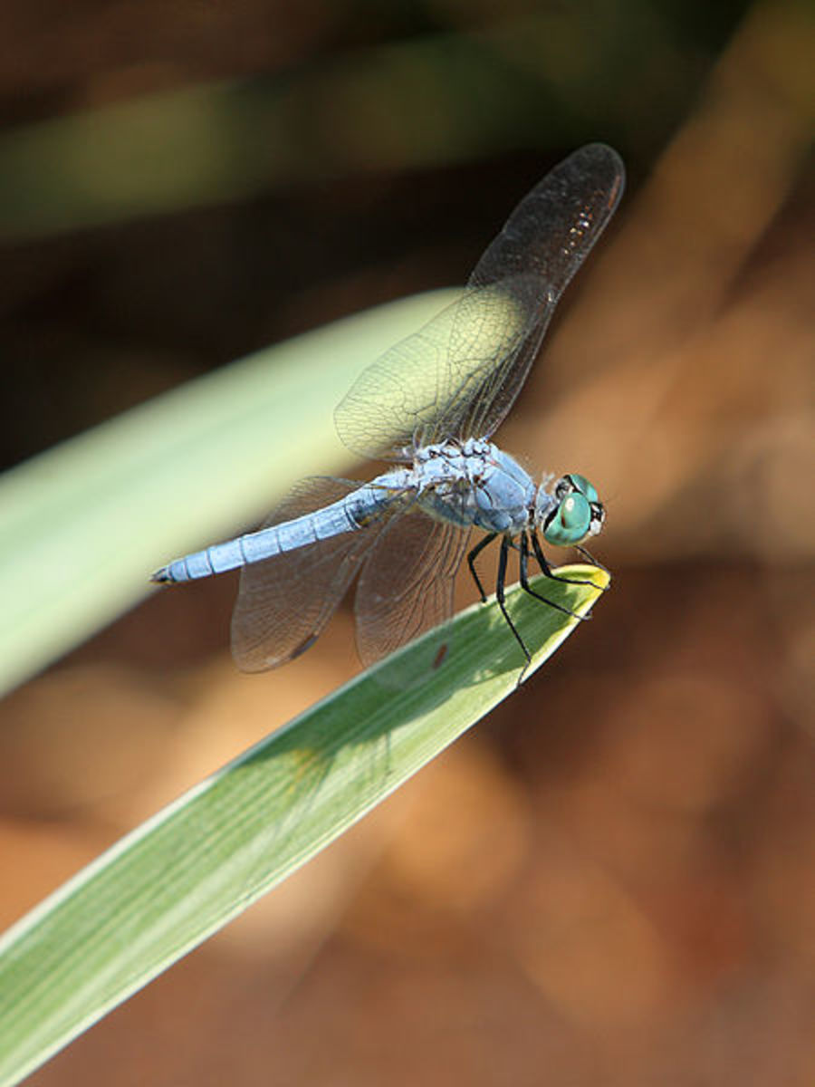 The Blue Dasher (Pachydiplax longipennis) is a dragonfly of the skimmer  family. It is common and widely distributed in the United States.