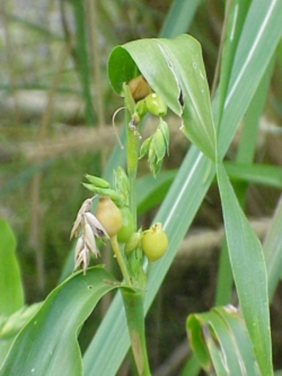 Health Benefits of Chinese Pearl Barley aka Coix Seeds