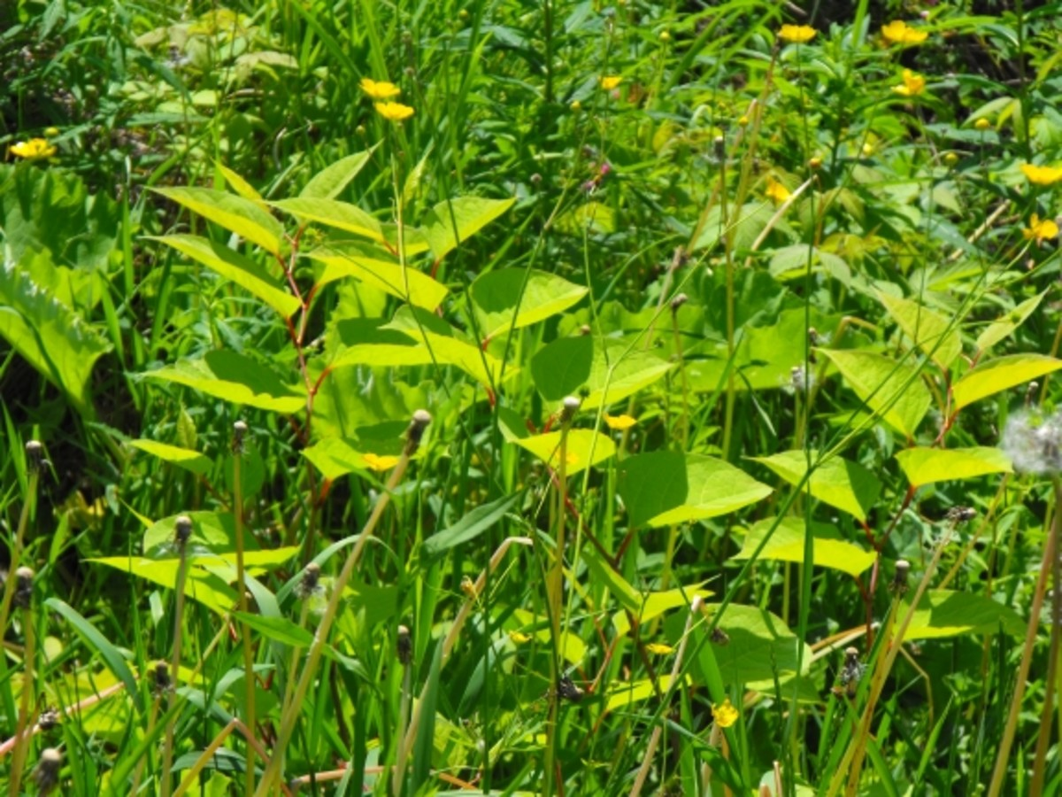 Finally other plants are taking over. Japanese Knotweed no longer dominates...but it is still there but weakened after more than a decade or trying to eradicate it!