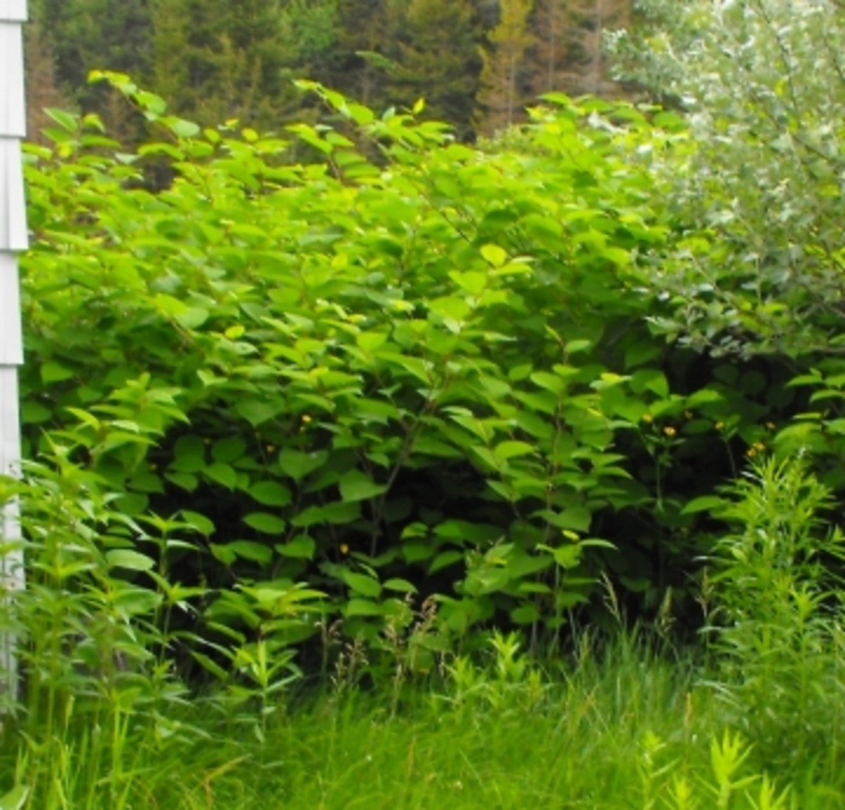 Getting Rid of Invasive Species of Plants: False Bamboo in Ontario (Japanese Knotweed, Chinese Bamboo)