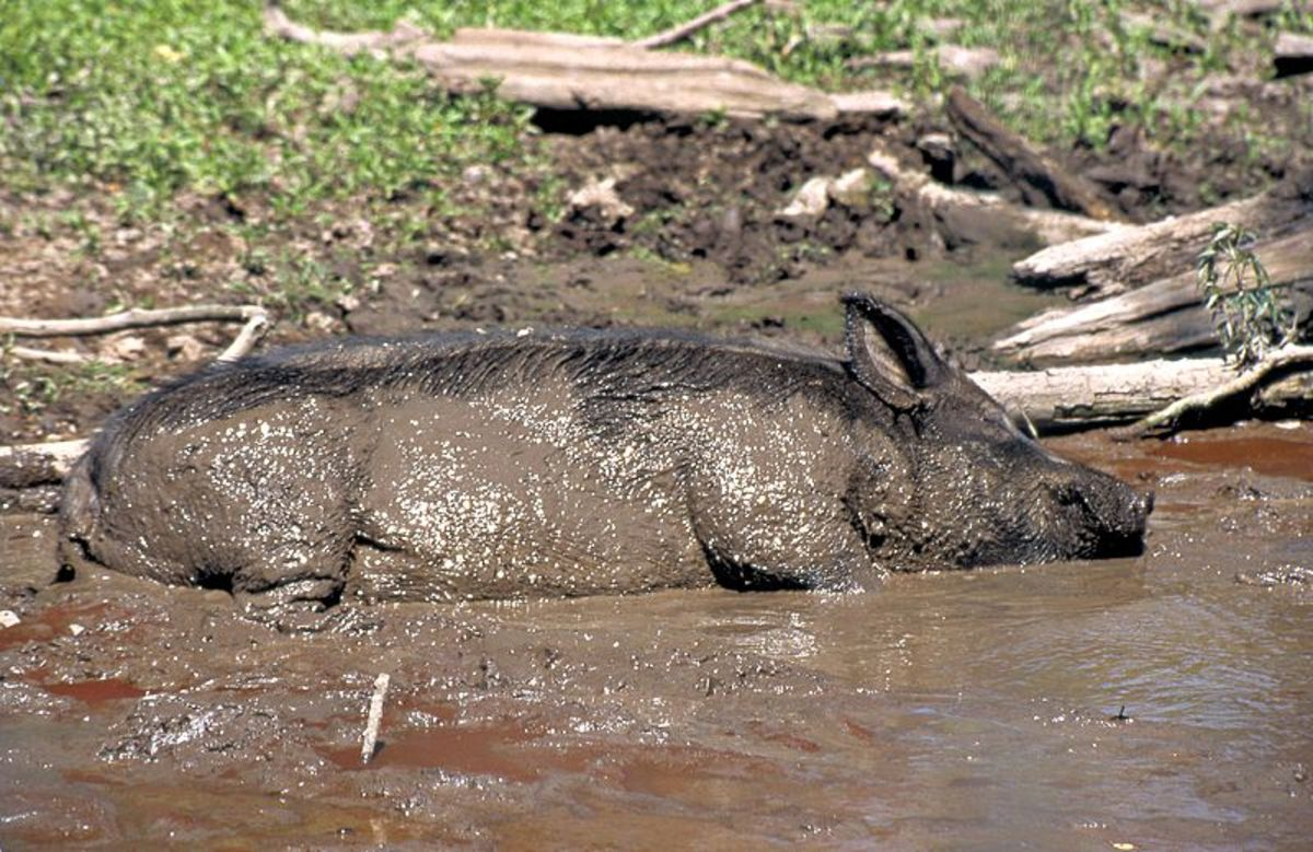 Pigs in the mud