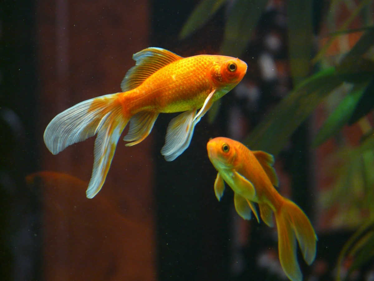 A pair of Veiltail goldfish