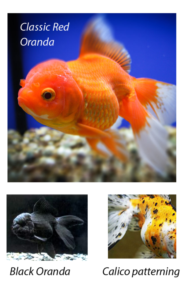 Some types of Oranda