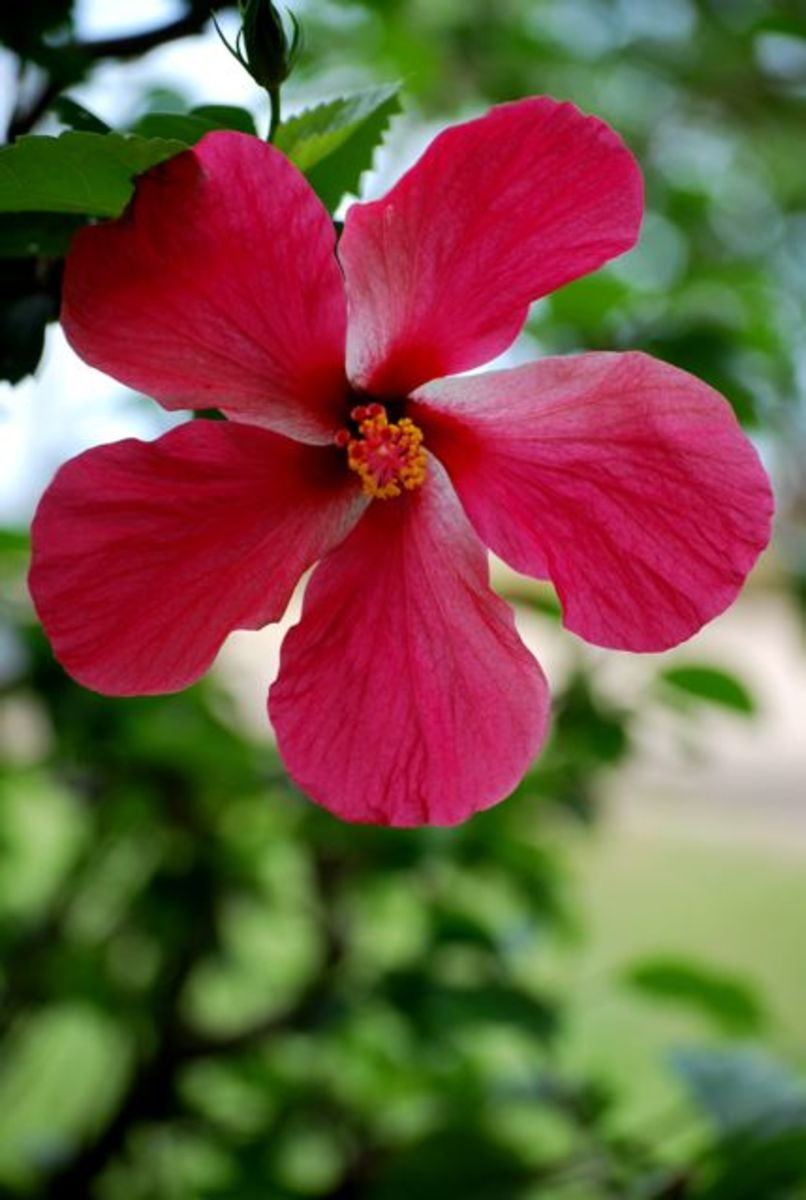 Red hibiscus flower in Fiji