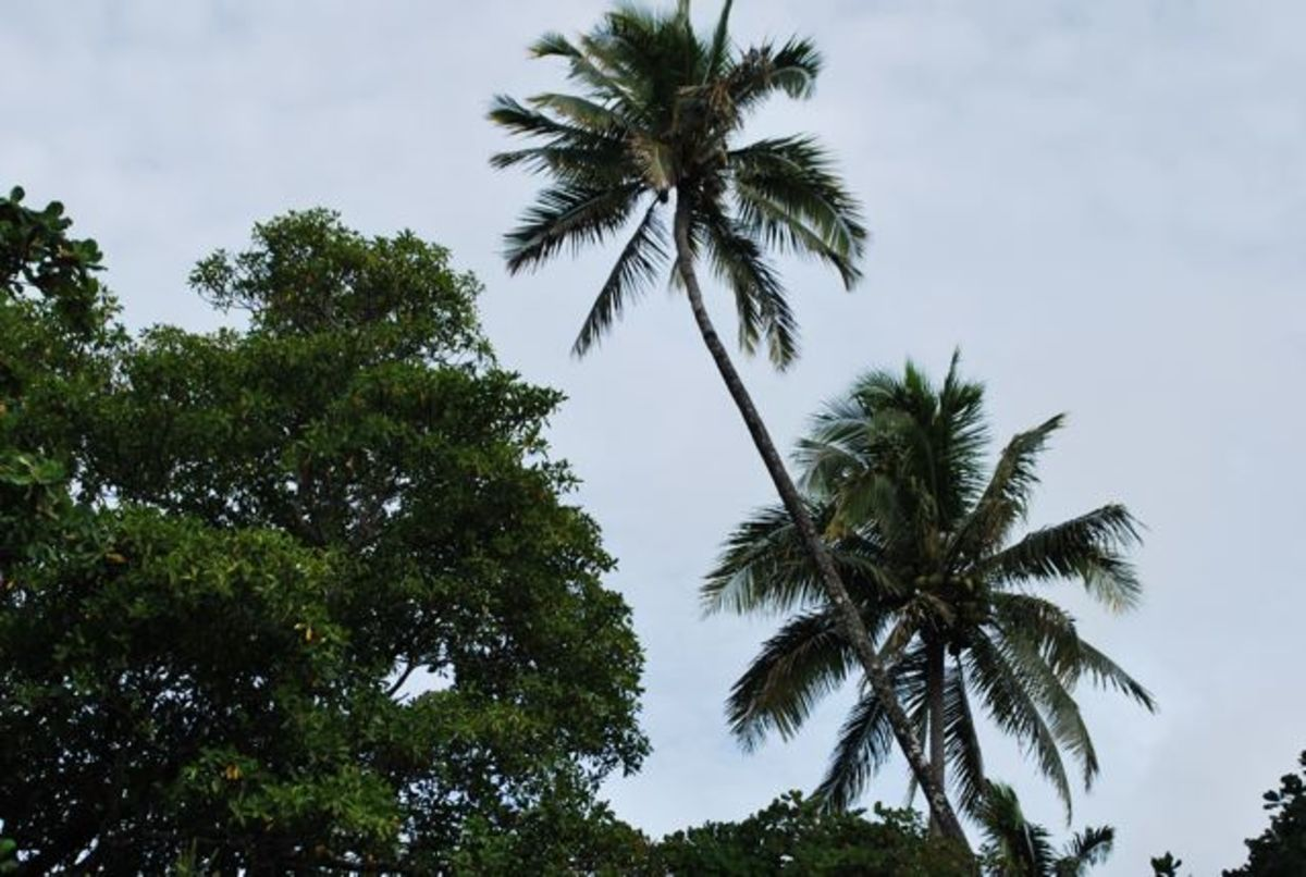 Palms trees sway on the Fiji Islands