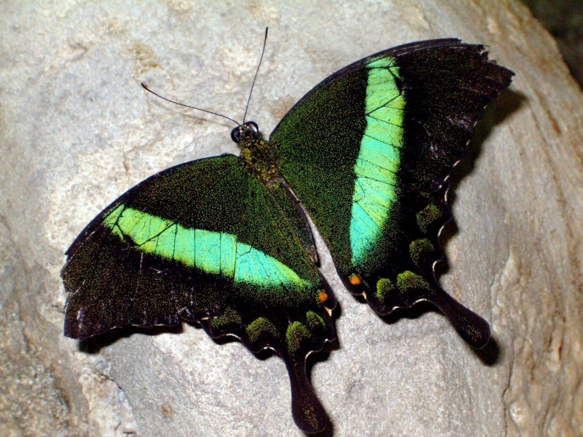 Emerald Swallowtail, or Banded Peacock Butterfly