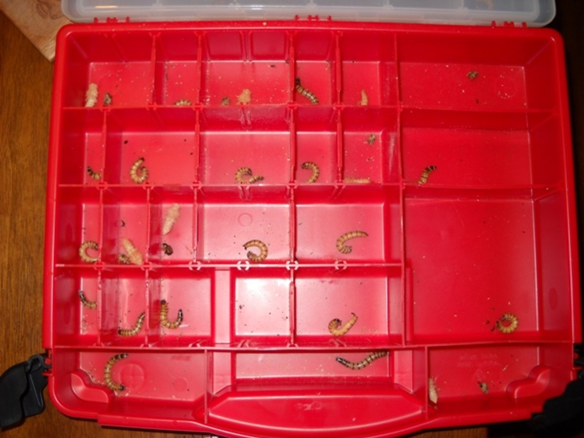 "Bottom of case showing a number of pupae and many ""C"" shape"