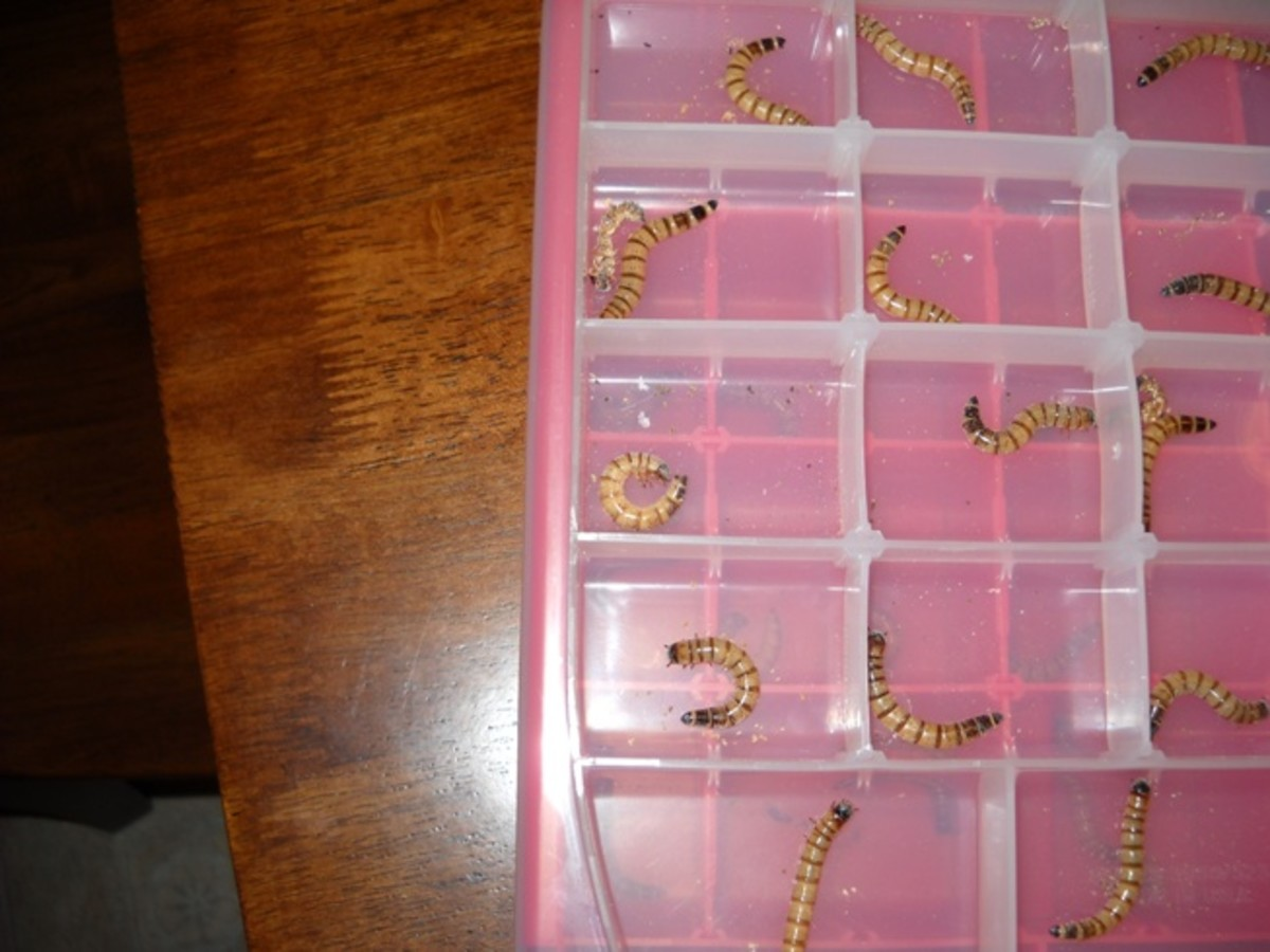 Superworms after five days.  The third row left compartment superworm has begun to pupate.  They curl into a C-shape to do this.