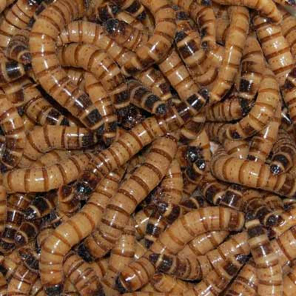 Raising Superworms: How Do They Transform To Beetles