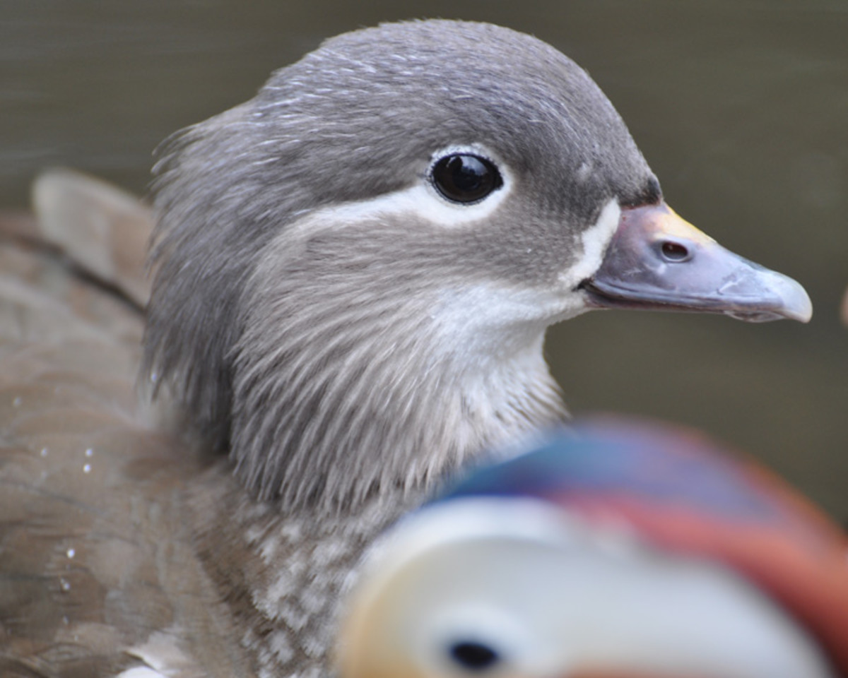 Female Mandarin Duck
