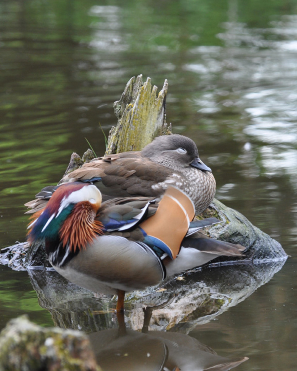 mandarin ducks asleep