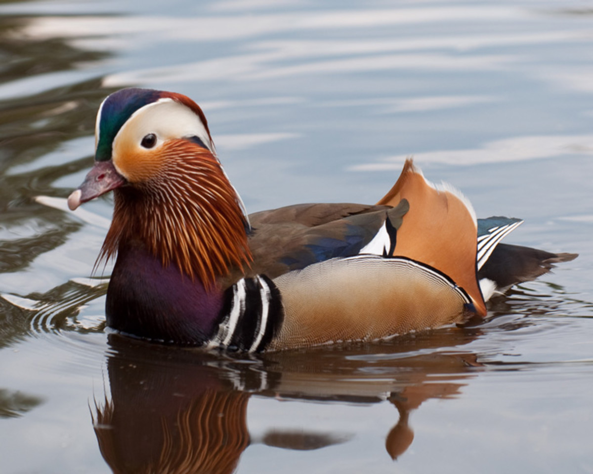 Male Mandarin duck