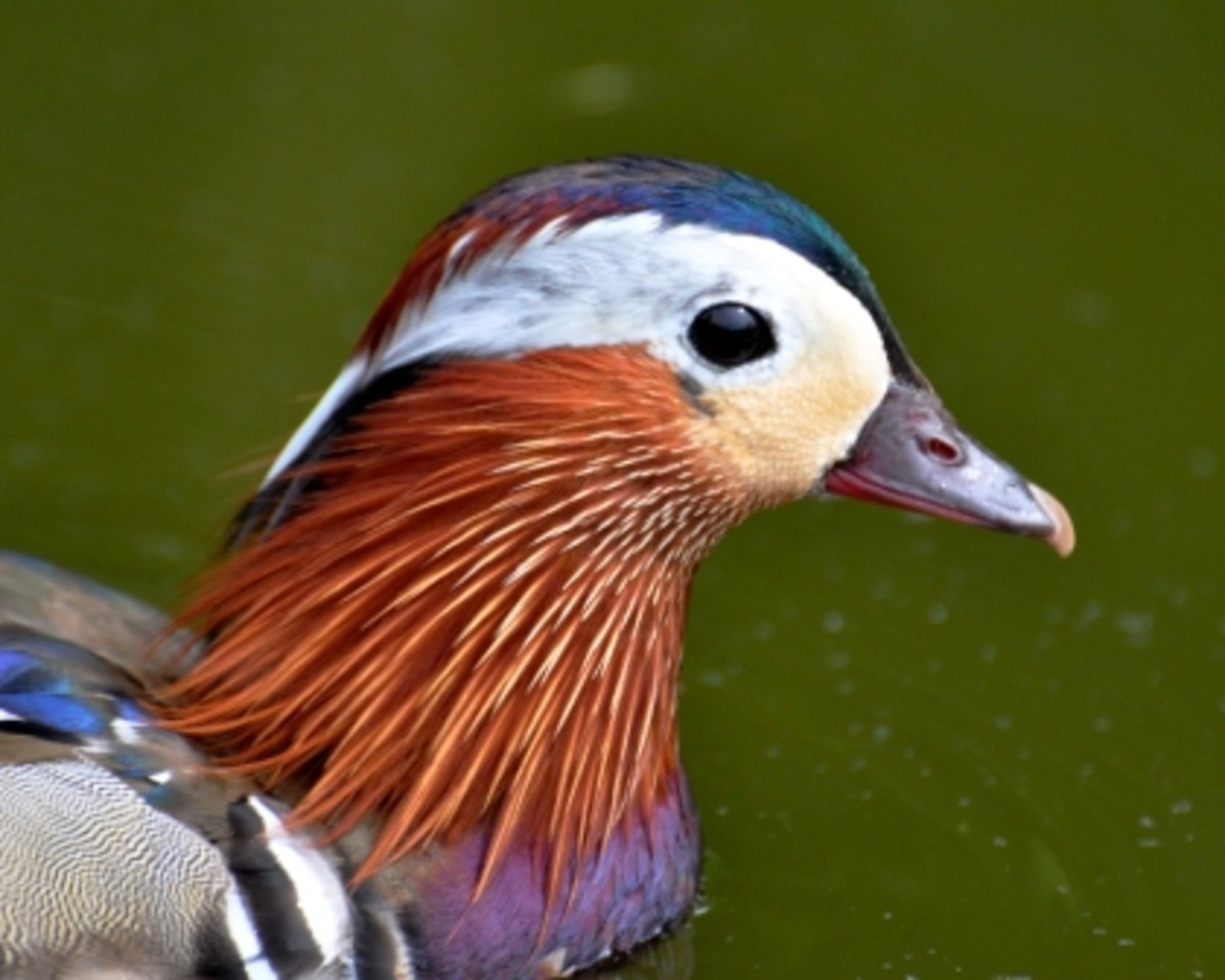 male mandarin