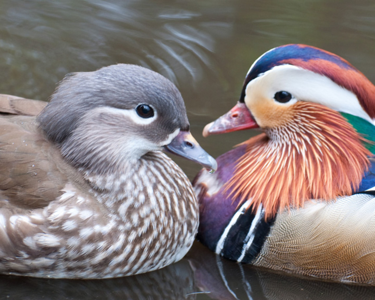 Female and male Mandarin ducks.