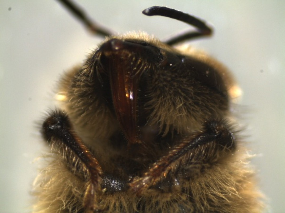 The image shows the proboscis of honeybee. A proboscis is a long, straw like  hairy tongue  used to absorb nutrients, honey, nectar, and water.