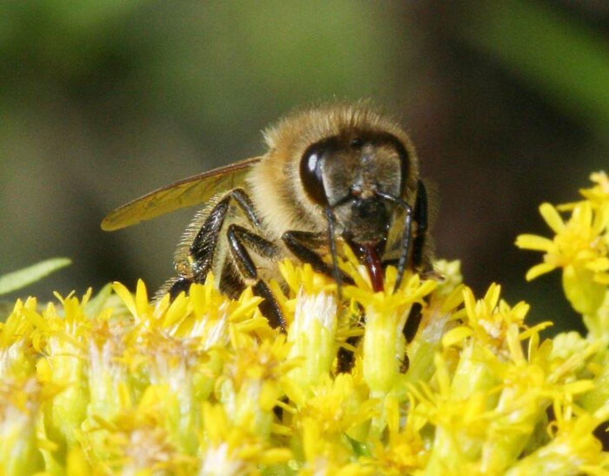 Honey bee on calyx of goldenrod