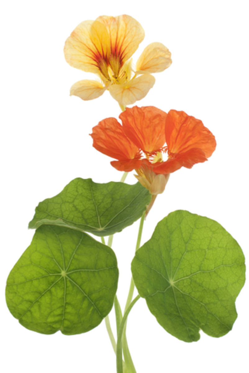 Edible Flowers and Use in Cooking