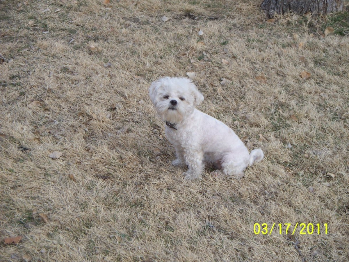 lhasa-bichon-mix-registered-name-is-la-chon-day-twelve-of-my-30-hubs-in-30-day-challenge