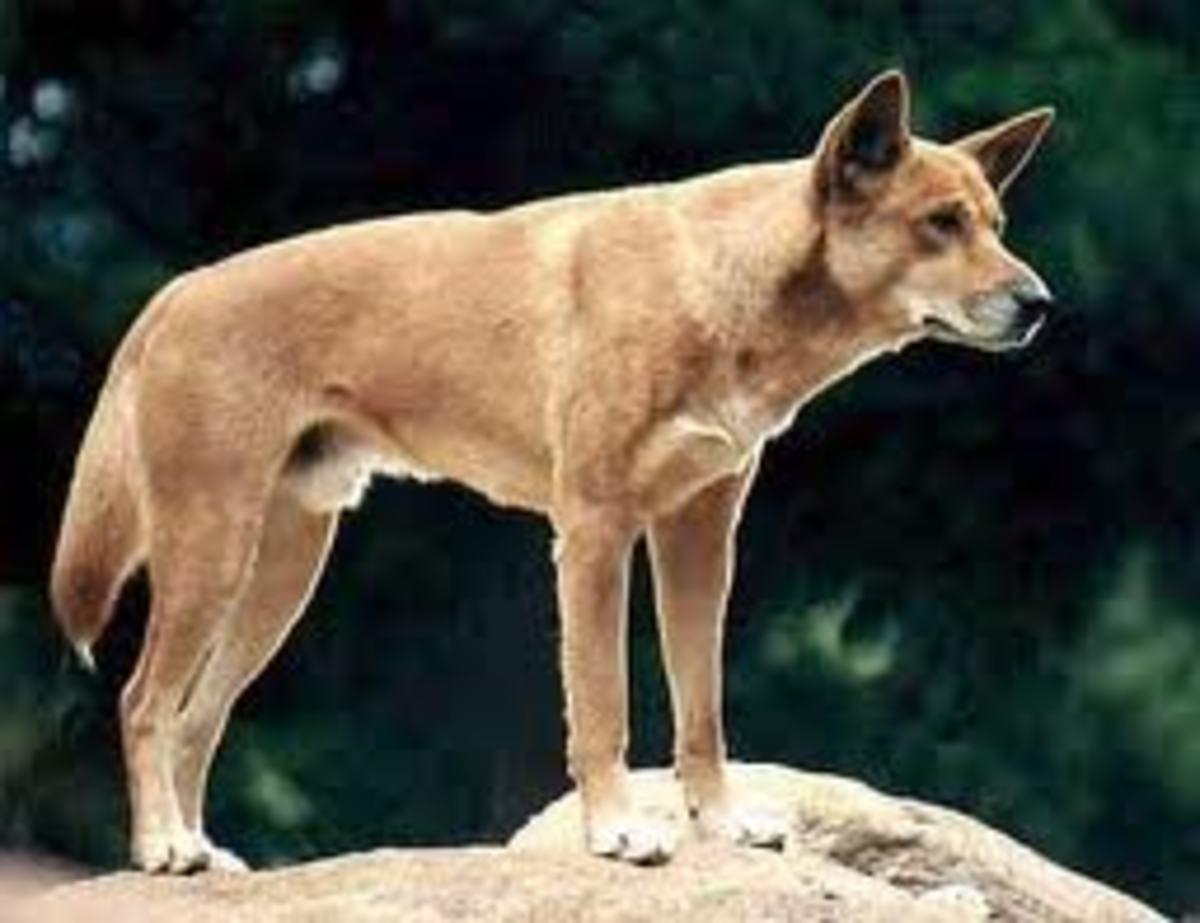the-thylacine