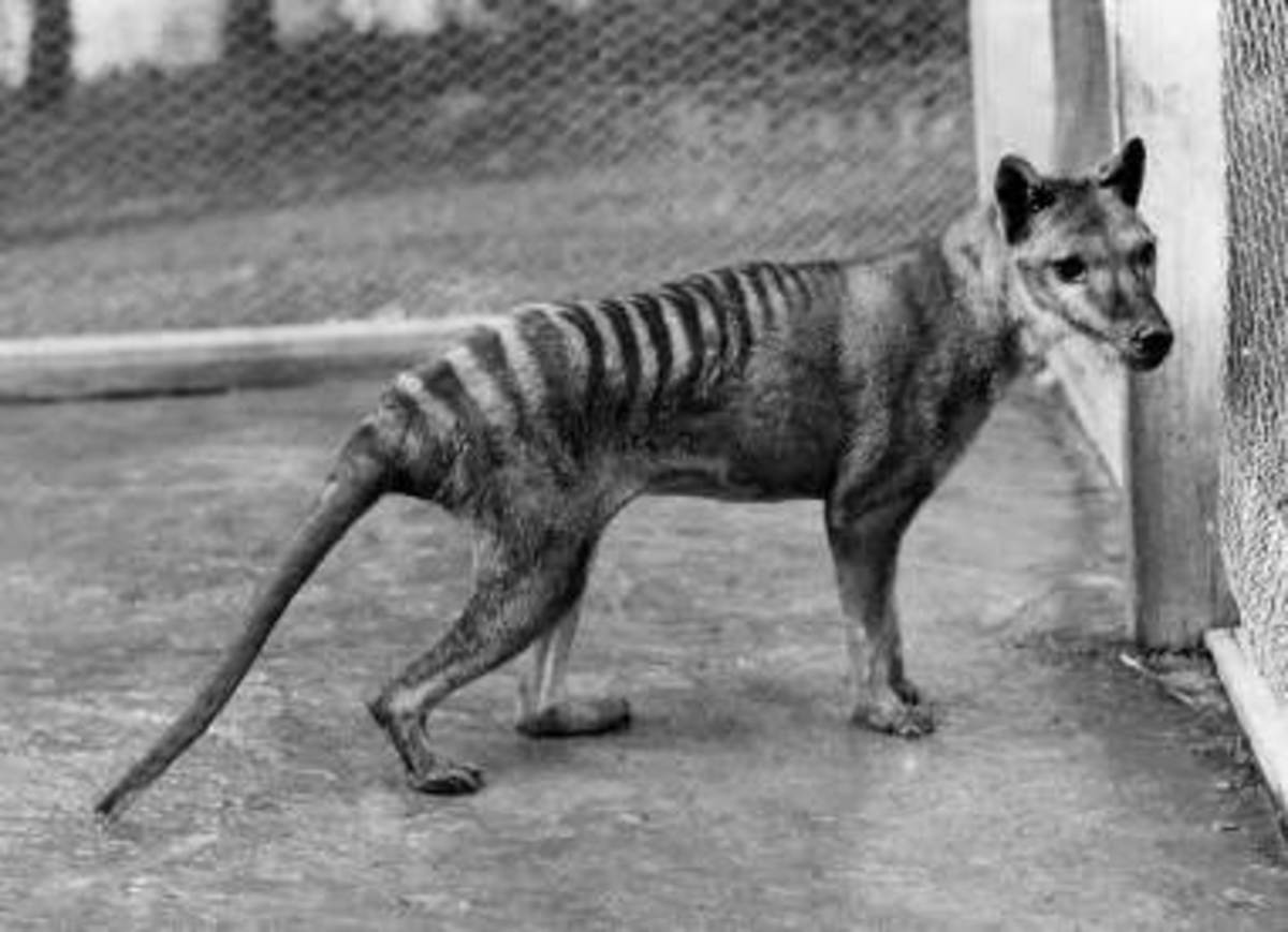The Thylacine, or Tasmanian Tiger.