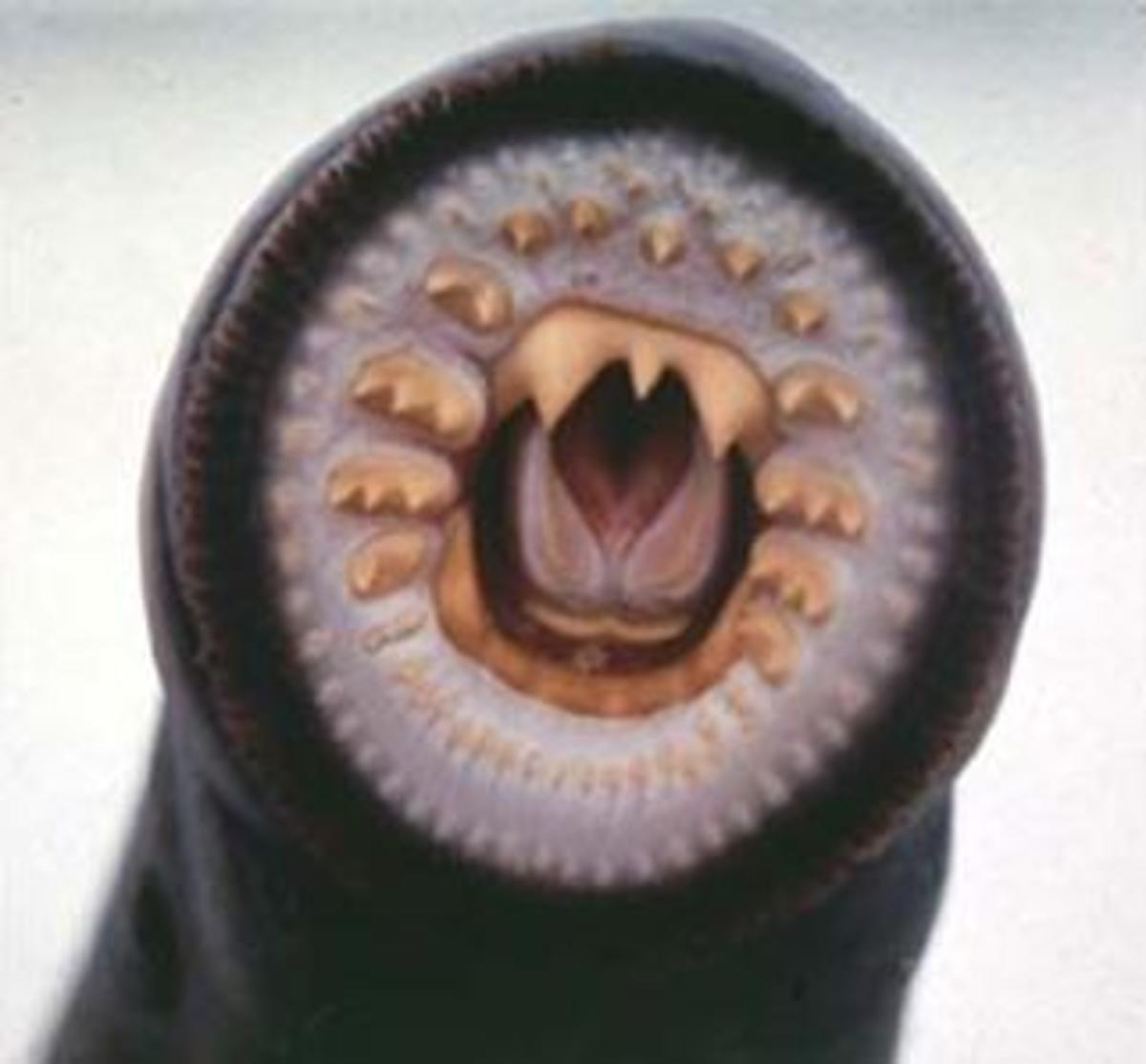 Mouth of The American Brook Lamprey