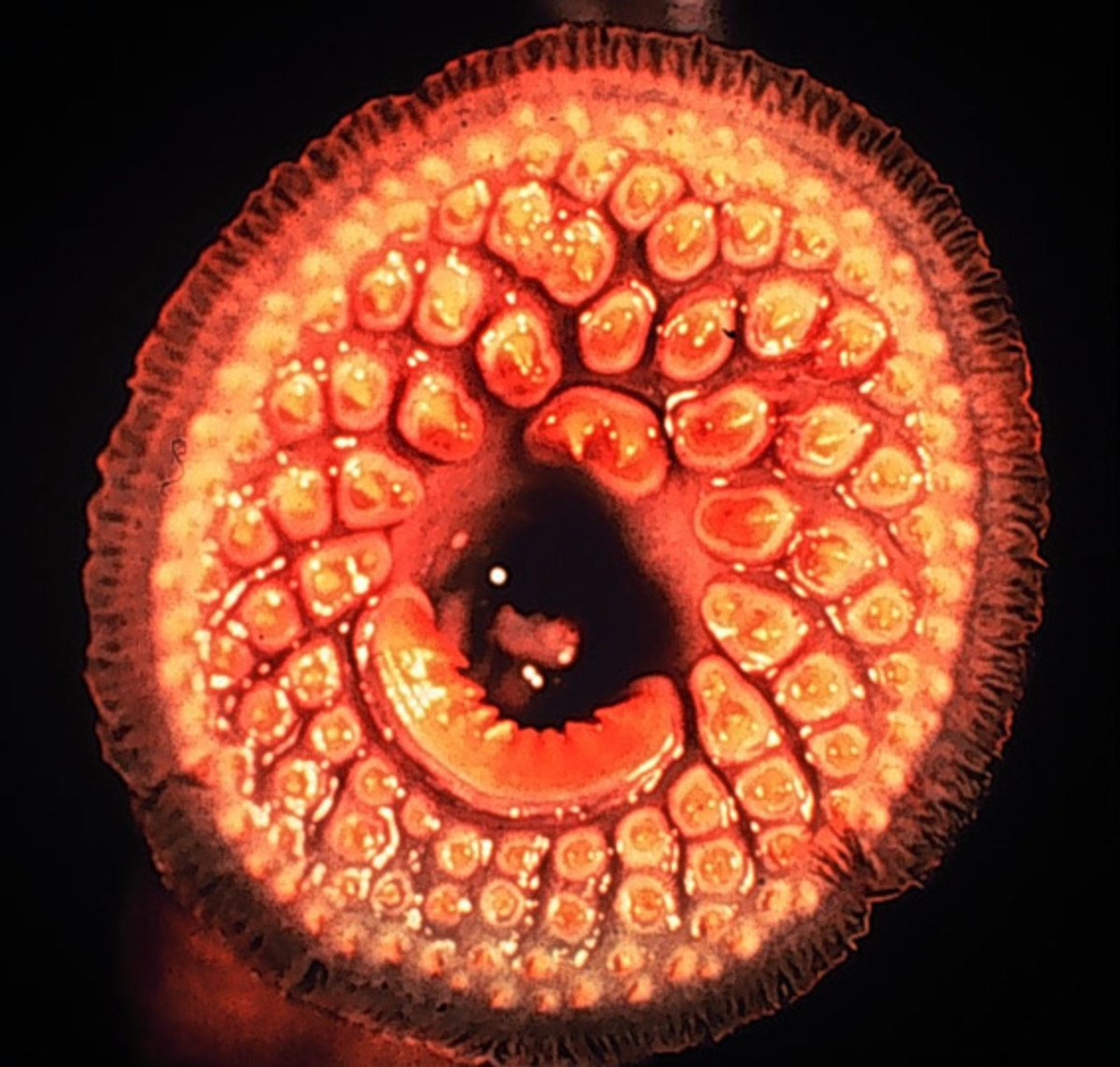Sea Lamprey Mouth