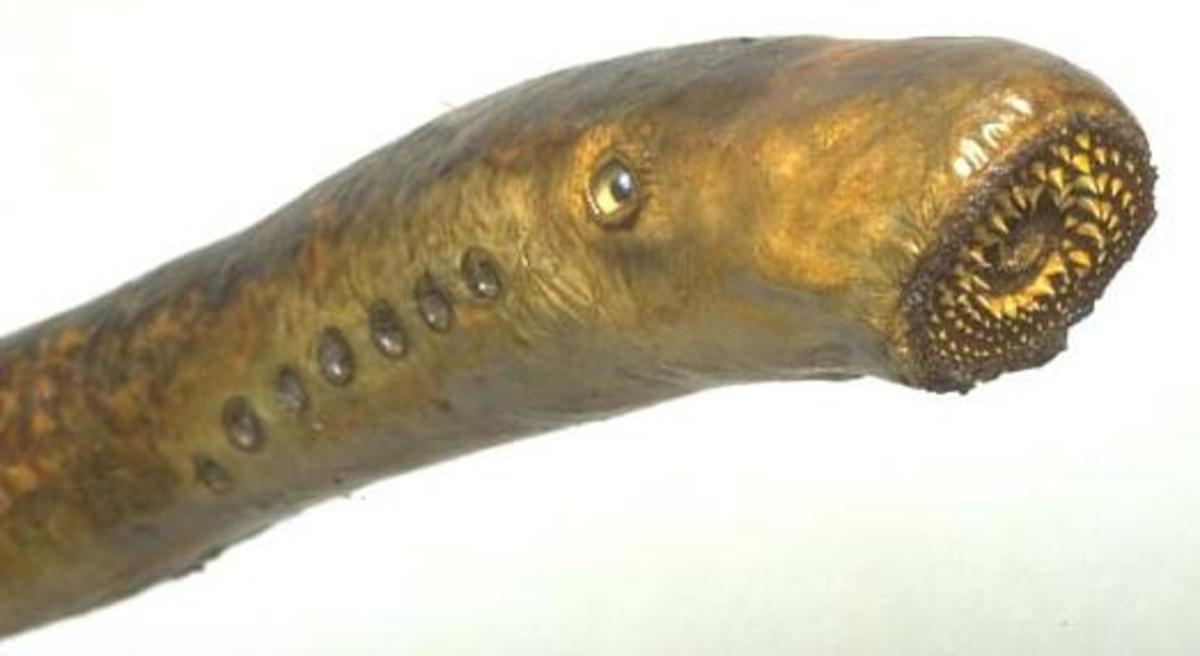 Lampreys: Sea Lamprey & Freshwater Lamprey Facts, Species, & Pictures