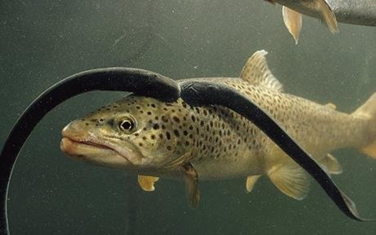 Sea lampreys cling to and feed on a brown trout