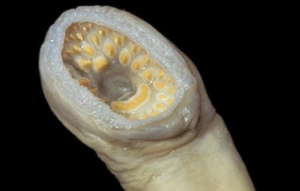 Silver Lamprey Mouth