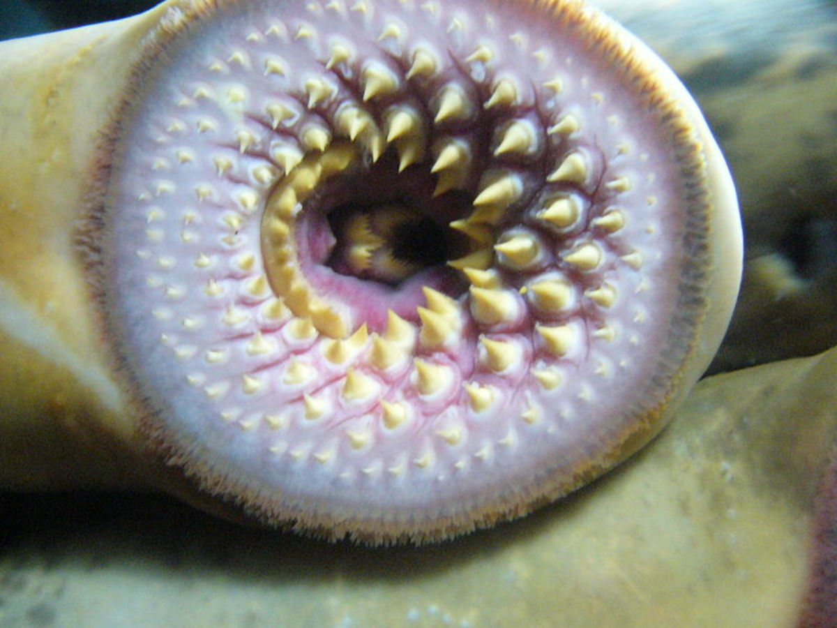 Chestnut Lamprey Mouth