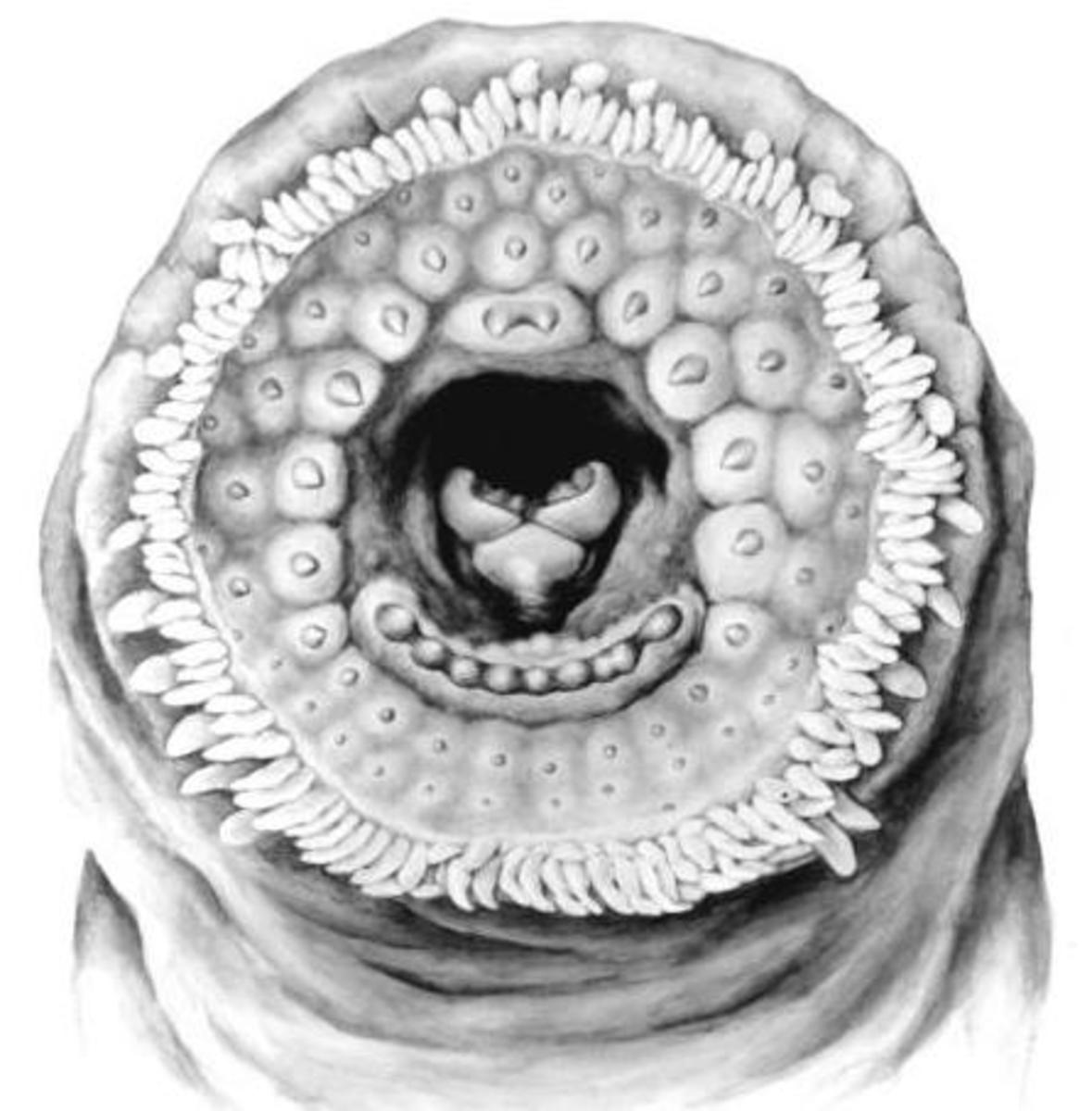 Northern Brook Lamprey Mouth