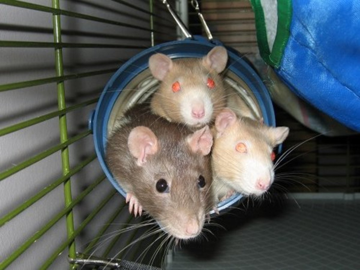 Three pet rats lounge in their cage in a play tunnel.