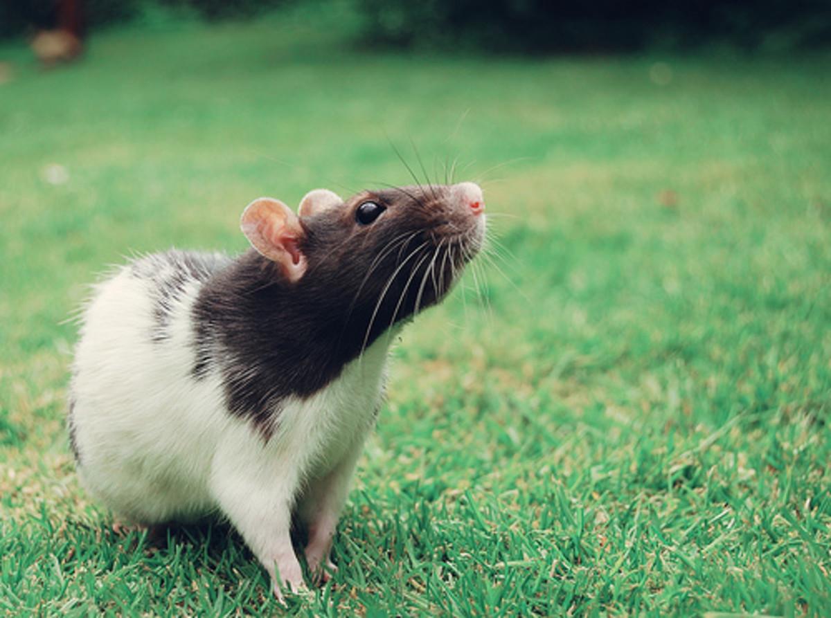 how-to-prevent-pet-rat-odors