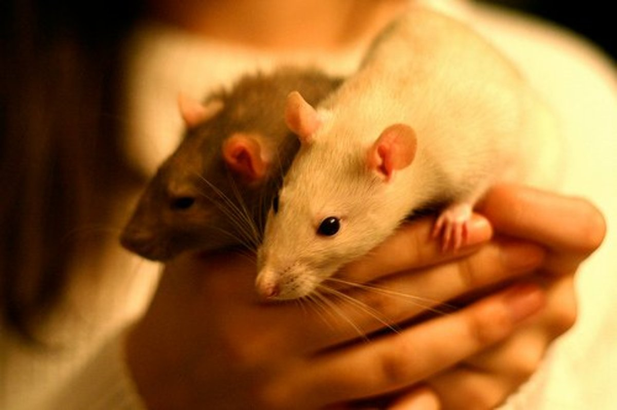 How To Prevent, Eliminate or Mask Pet Rat Odors