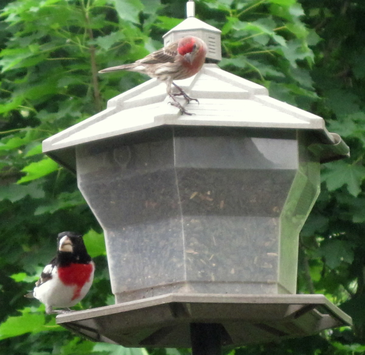 Grosbeak & House Finch