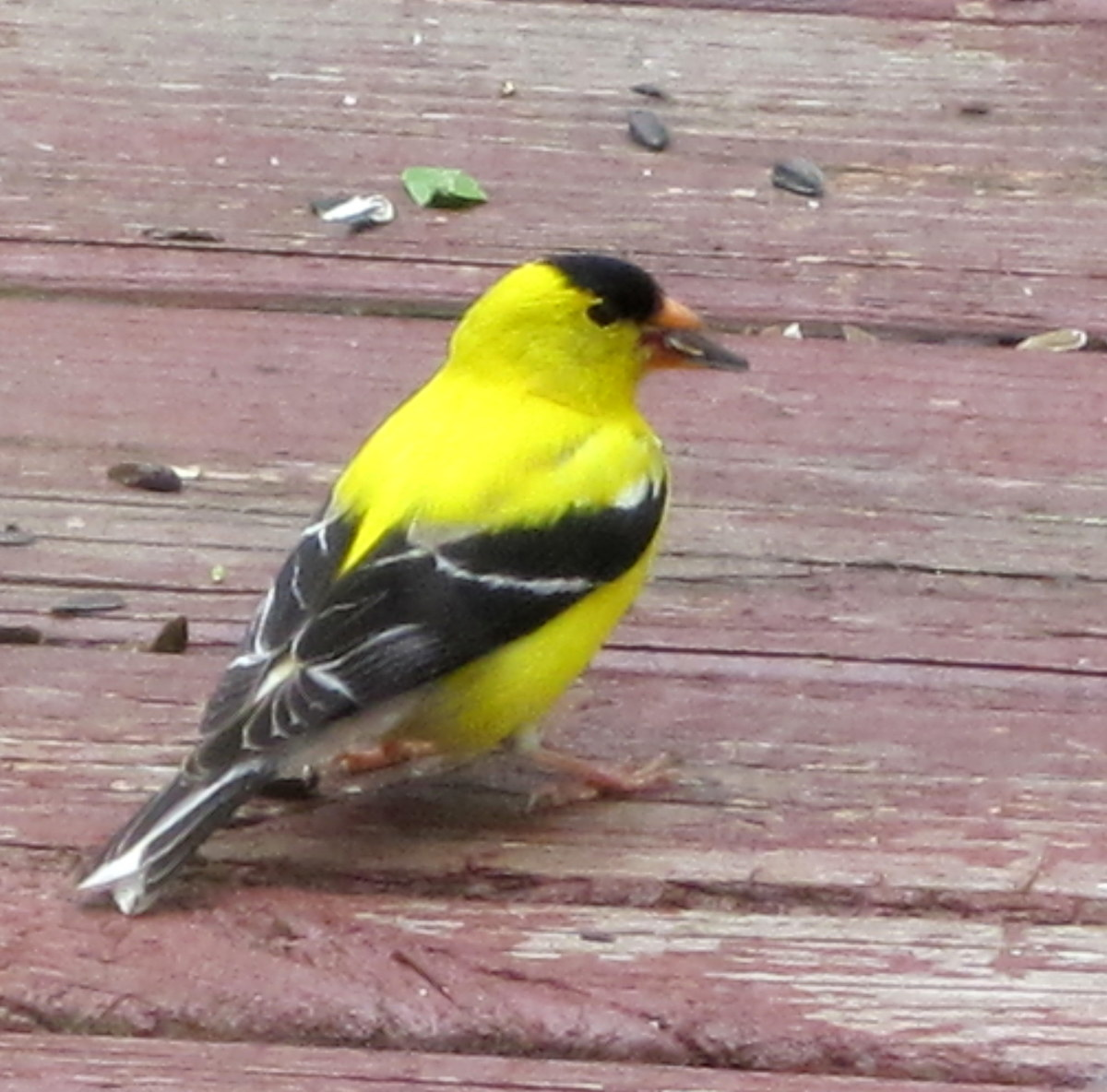 American Goldfinch (male) Carduelis tristis
