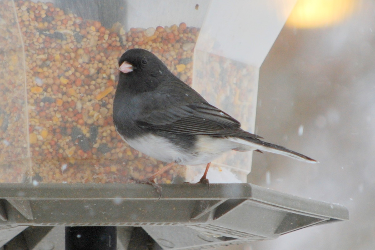 Dark-Eyed Junco (male) Junco hyemalis